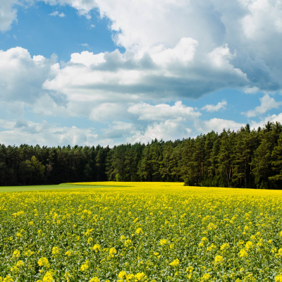 -Canola in Spring [1420]-