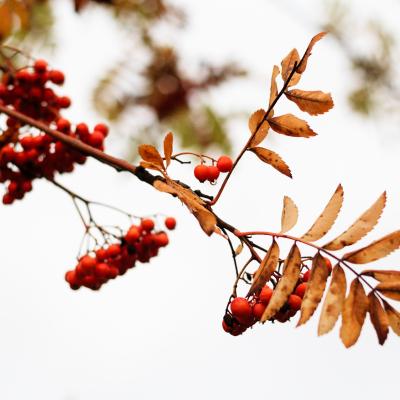 -Wild Berry-