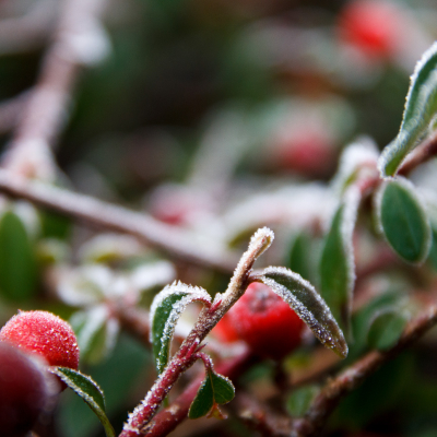 -Frosty Berry-