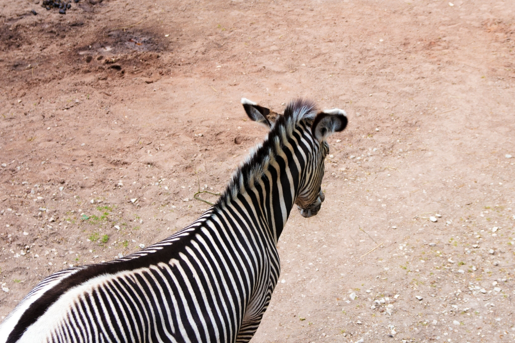 -Only the Back of the Zebra- Canon EOS 60D (Sigma 17-70mm F2.8-4 DC Macro C, 37 mm, f/4.0, 1/250s, ISO100)