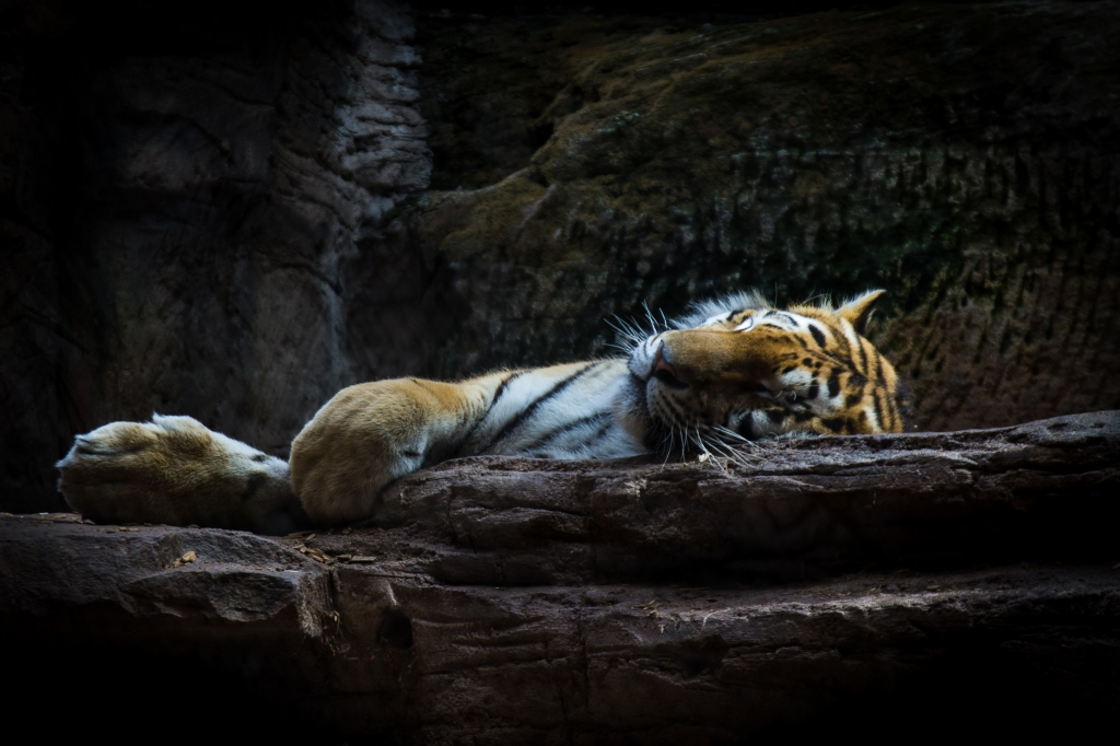 -Tired Tiger- Canon EOS 60D (Sigma 17-70mm F2.8-4 DC Macro C, 70 mm, f/4.0, 1/40s, ISO100)