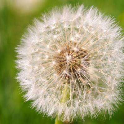 -White Dandelion-